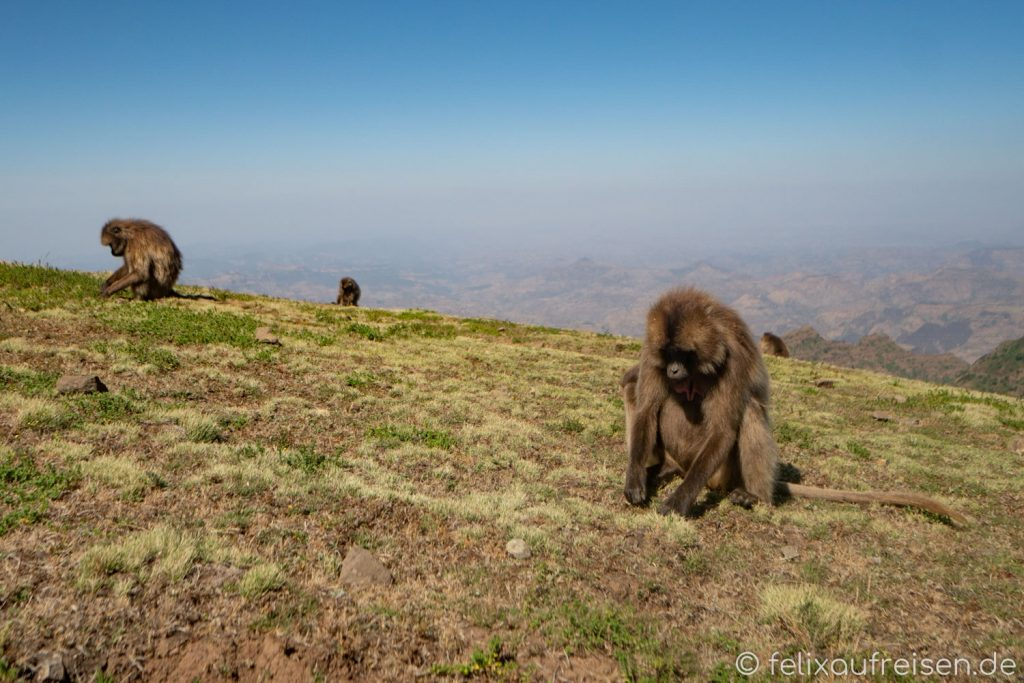 Paviane im Simien Mountains NP